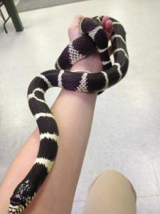 Image of Diego the snake, a program animal at Zoo New England.