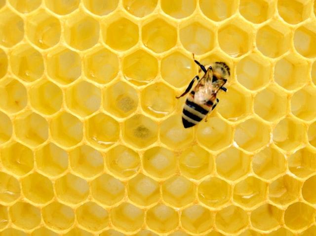 Photo of honeybee by Matthew T Rader on Unsplash